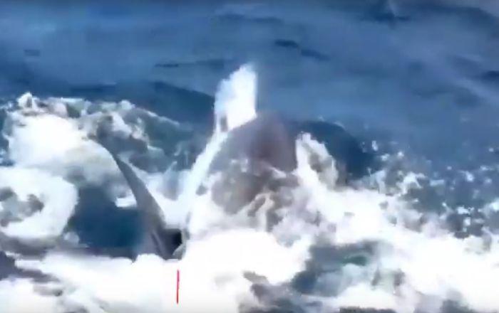 معركة شرسة بين أسماك القرش البيضاء