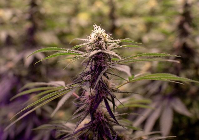 نبات الحشيش