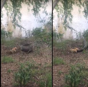 كلب صغير شجاع يهاجم تمساح ضخم ويجبره على الهروب