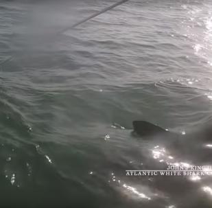 سمكة قرش بيضاء تهاجم عالم أمريكي