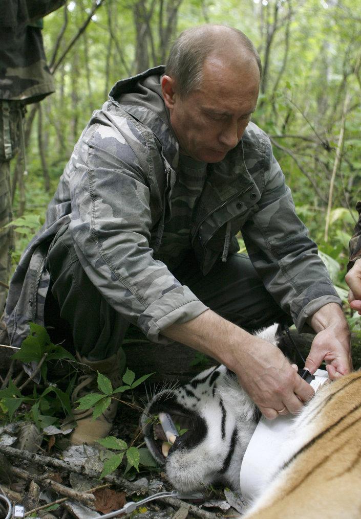 الرئيس الروسي يشارك في علاج نمر