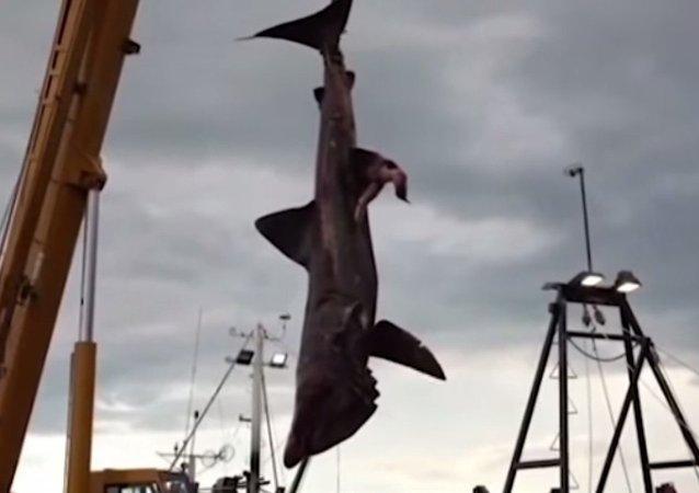 ثاني أكبر سمكة قرش في العالم