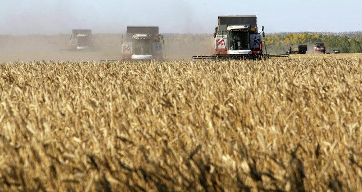 جمع محصول الحبوب في روسيا