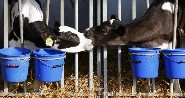 حب البقر