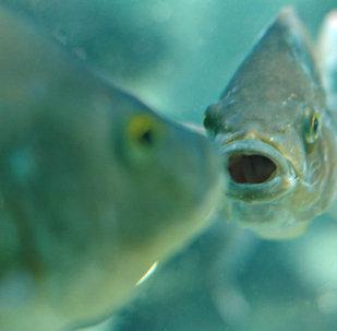 أسماك