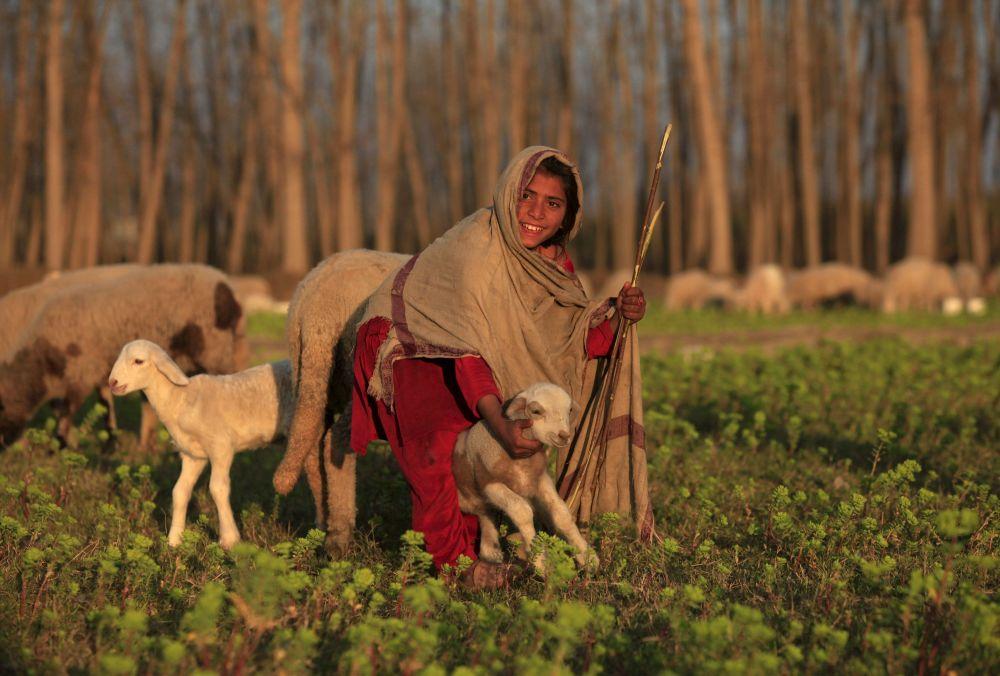فتاة باكستانية ترعى الغنم في حقل نوشيرا، 17 فبراير/ شباط 2016.