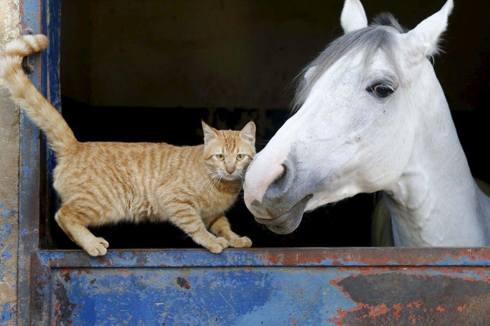 صداقة مميزة بين قطة وحصان في بيروت، لبنان، 16 فبراير/ شباط 2016.
