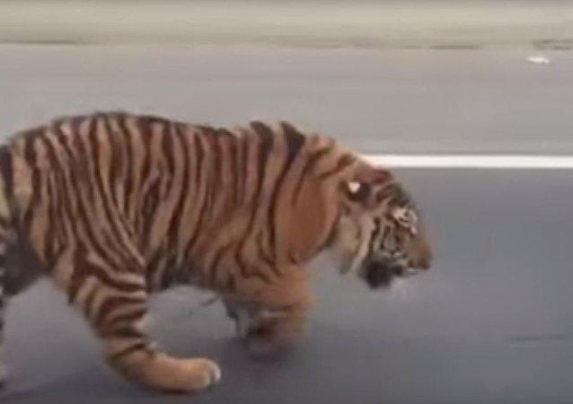 نمر يهاجم شوارع قطر