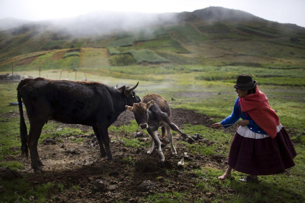 امرأة تبعد عجلاً صغيراً عن أمه لكي تستطيع أن تحلبها، قرية أوتشوركاي في بيرو، 9 أبريل/ نيسان 2016