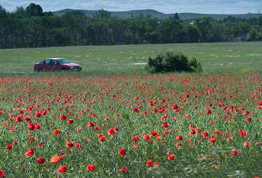 حقول أزهار الخشخاش في قرية زويا بشبه جزيرة القرم.