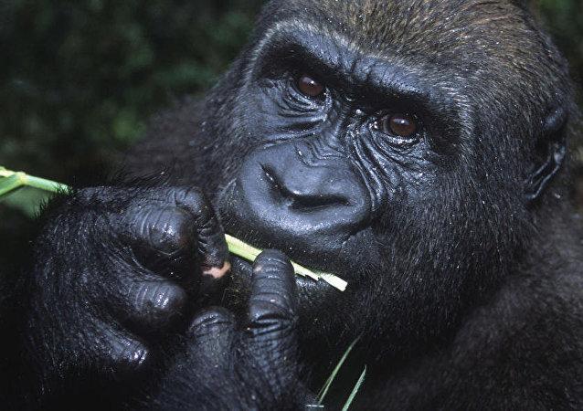 قرود الشمبانزي تسكر في الطبيعة