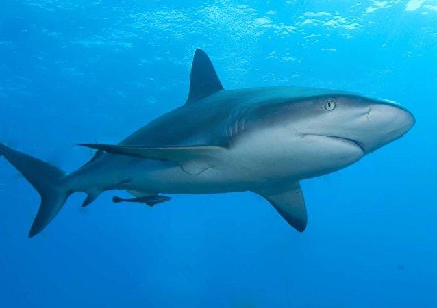 سمك القرش