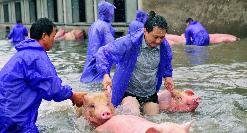 عمال المزارع ينقذون الخنازير خلال الفيضانات في مدينة وان في الصين
