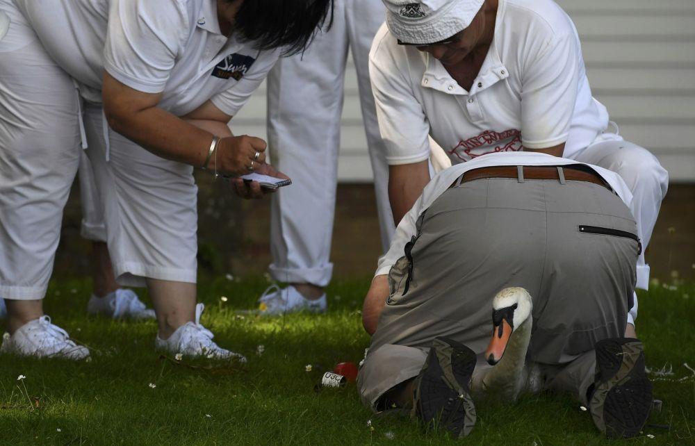 محاولة الموظفين القيام بالتسجيل السنوي لعدد طيور البجع في سانبيري، جنوبي إنجلترا 18 يوليو/ تموز 2016