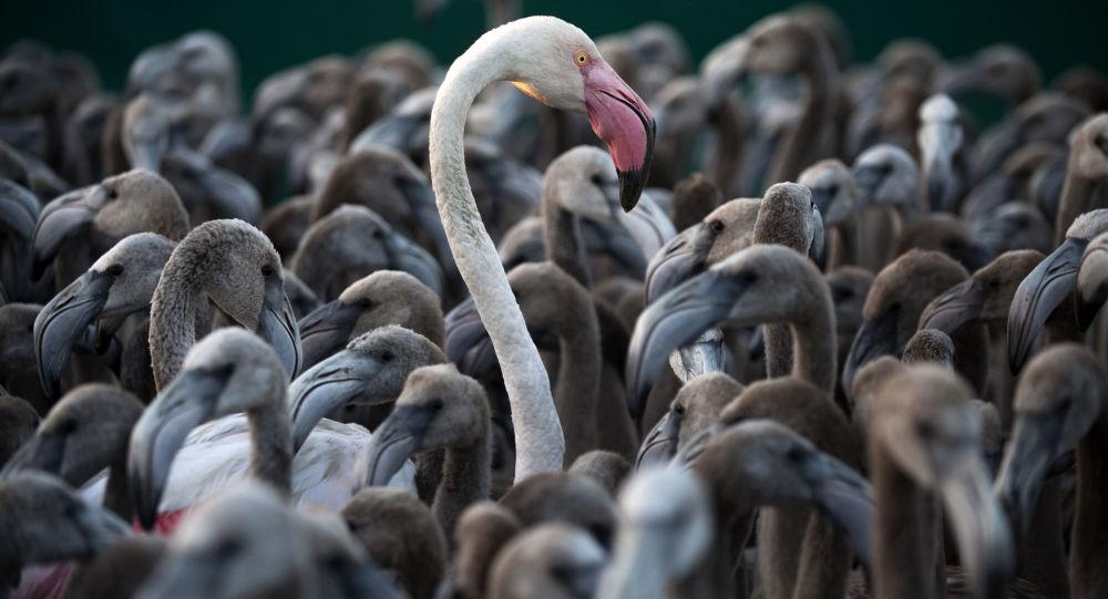 طائر النحام الوردي خلال عملية تفقد حالة الطيور، جنوب إسبانيا 13 أغسطس/ آب 2016