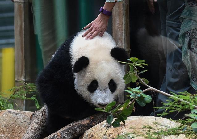 زوار في حديقة الحيوانات يطعمون دب الباندا في كوالالمبور، 23 أغسطس/ آب 2016