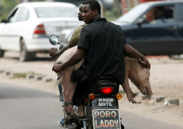 رجل يحمل حيوان الخنزير على دراجة نارية في كينشاسا، جمهورية الكونغو الديمواقراطية 28 سبتمبر/ أيلول 2016