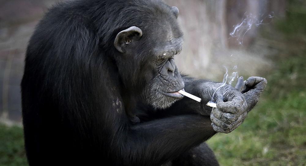 قرد يدخن في حديقة للحيوانات في بيونغ يانغ، كوريا الشمالية