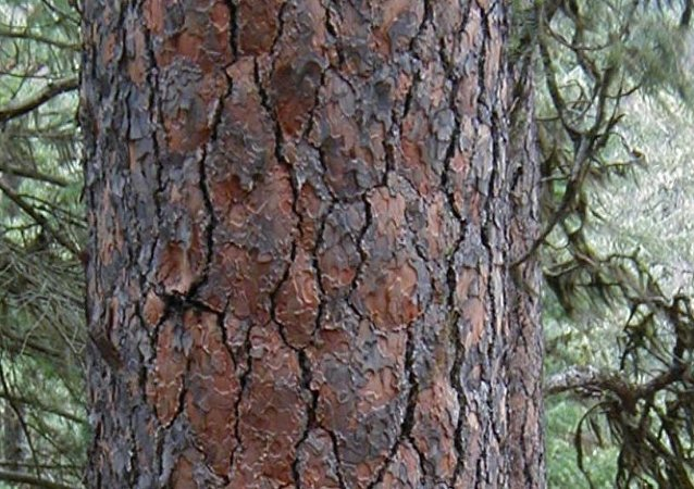 أشجار الصنوبر الأصفر الغربية