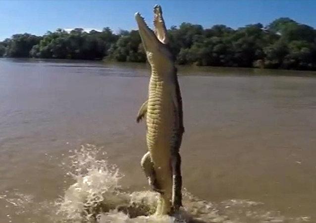 تمساح يقفز