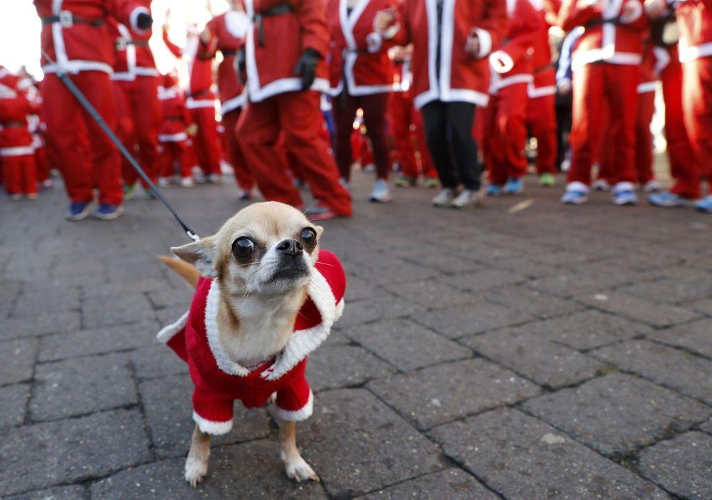 كلب يرتدي زي سانتا كلاوز (بابا نويل) في لندن، 4 ديسمبر/ كانون الأول 2016