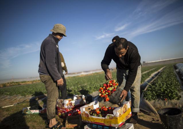 موسم جمع الفراولة