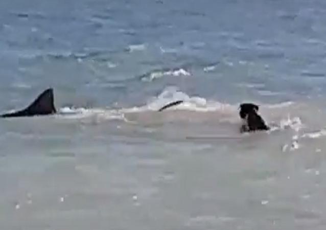 قرش يهرب من كلب