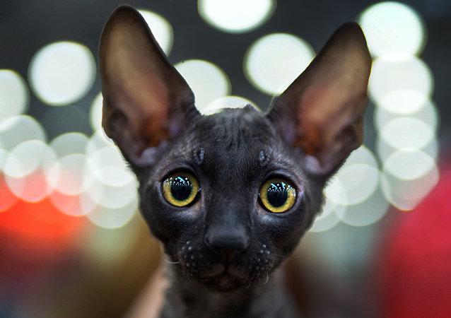 قطة من فصيلة Cornish Rex  أثناء المسابقة الدولية لعرض الققط في موسكو، 5 مارس/ آذار 2016.