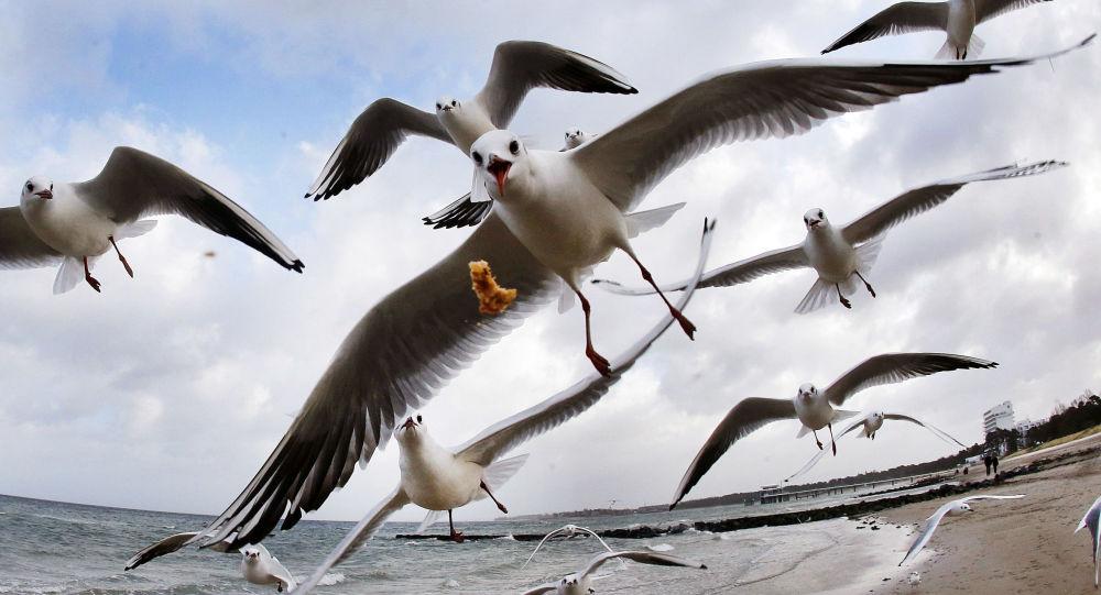 طيور النورس على شاطئ بحر البلطيق، ألمانيا 27 ديسمبر/ كانون الأول 2016