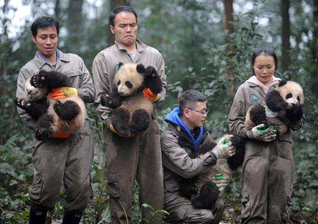 موظفون صينيون (بقسم حماية الحيوان) يحملون صغار دب الباندا خلال فعالية الاحتفال برأس السنة الصينية في مقاطعة سيتشوان، الصين 11 يناير/ كانون الثاني 2017