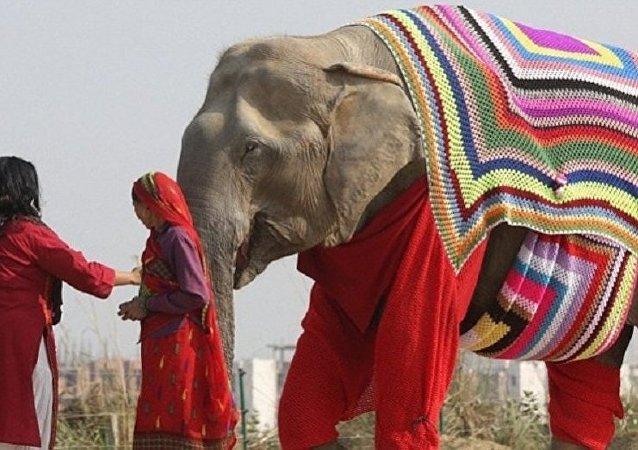 فيل مع سترة لحمايته من البرد