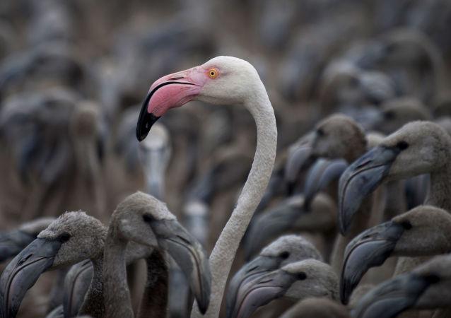 طائر الفلامينغو
