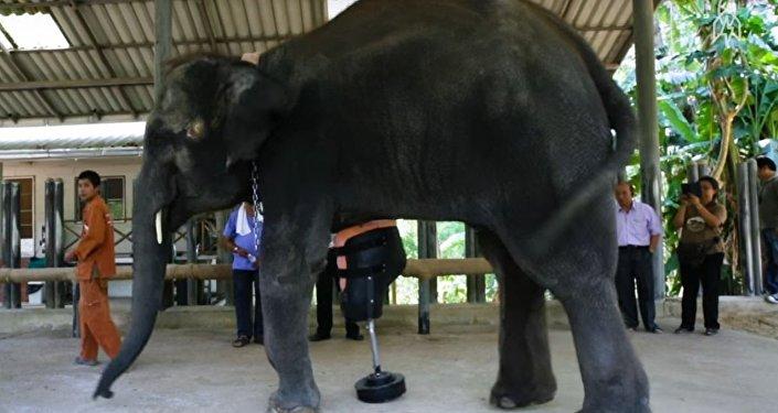 فيل بقدم اصطناعية