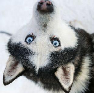 كلب منو فصيلة هاسكي في حديقة ساكولنيكي في إطار فعاليات التأهيل والتعليم