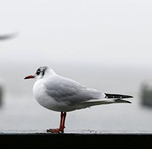 طائر نورس