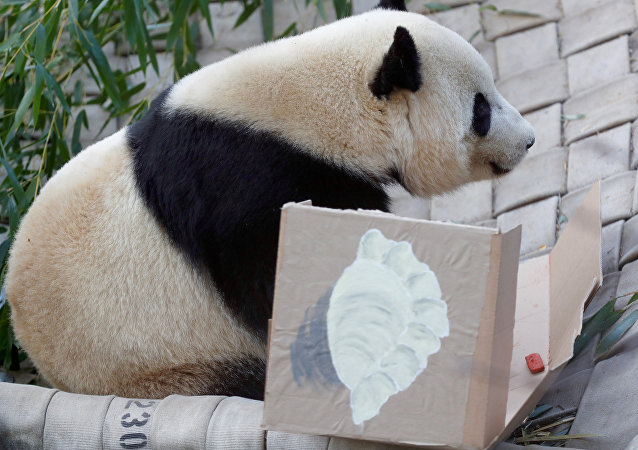 الباندا باو باو