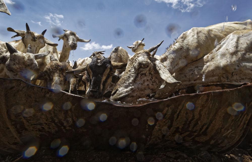 الماعز يندفع لشرب من وعاء معدني، بعد أن تم إحضار المياه من قبل في ناقلة للرعاة في منطقة يسودها الجفاف بالقرب من بندر بيلا، الصومال 8 مارس/ آذار 2017