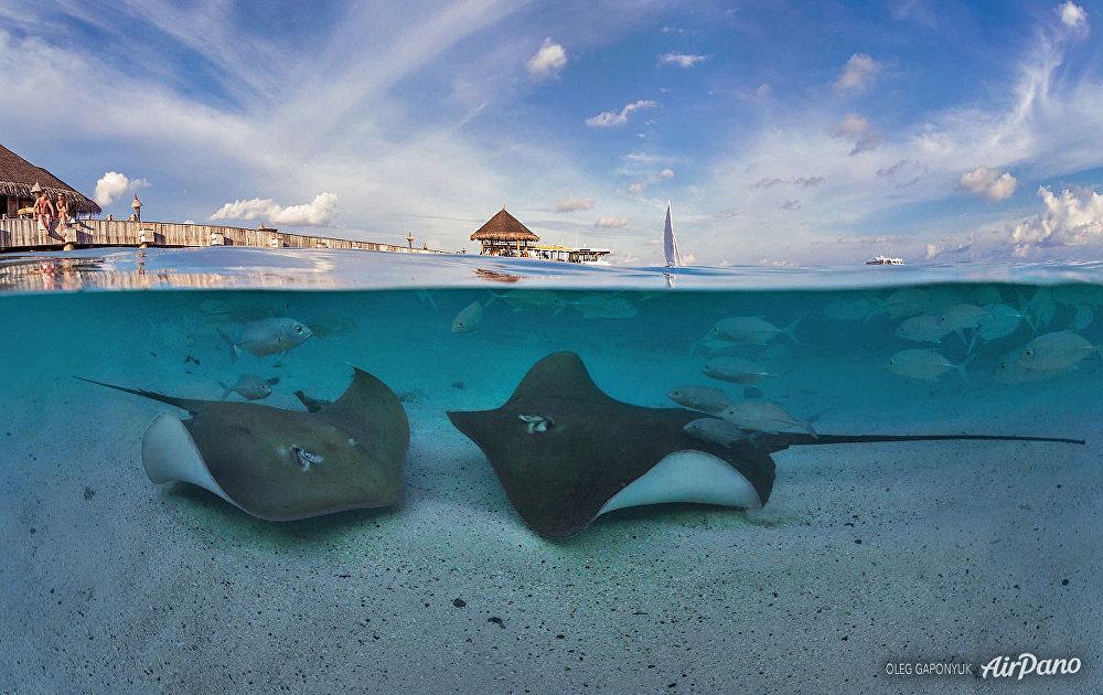 العالم تحت الماء في جزر المالديف. الراي اللاسع