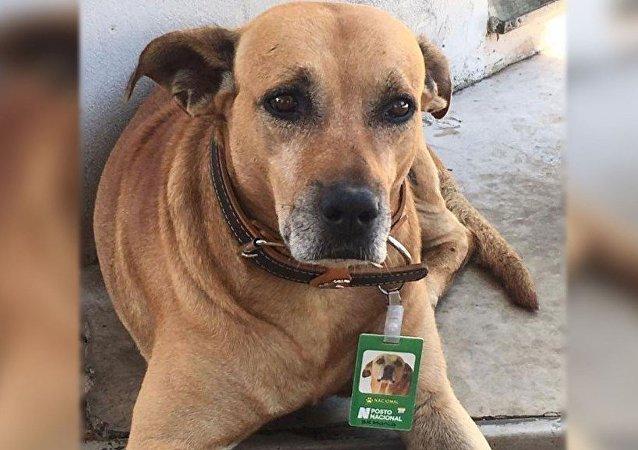 كلب برازيلي