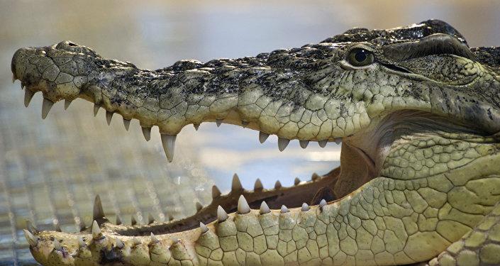 تمساح