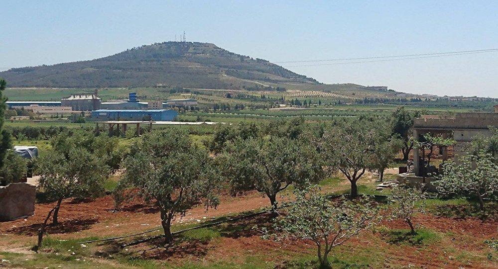 أشجار الزيتون في محافظة حماة