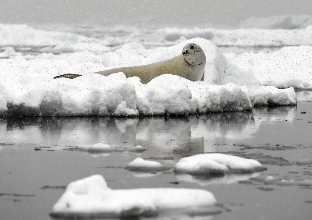 فقمة ويدل (Weddell seal) خلال الاستراحة، 5 مارس/ آذار 2016