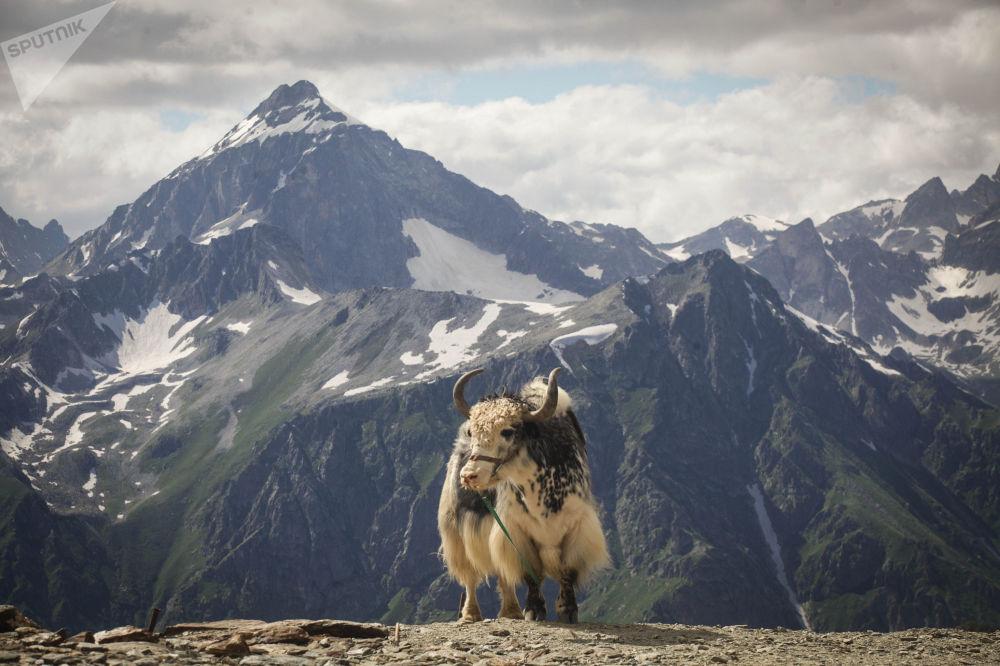 حيوان الياك (قطاس بري أو ثور التيبيت)، منتجع دومباي الجبلي في قراتشاي - تشيركيسيا شمال القوقاز، روسيا الاتحادية