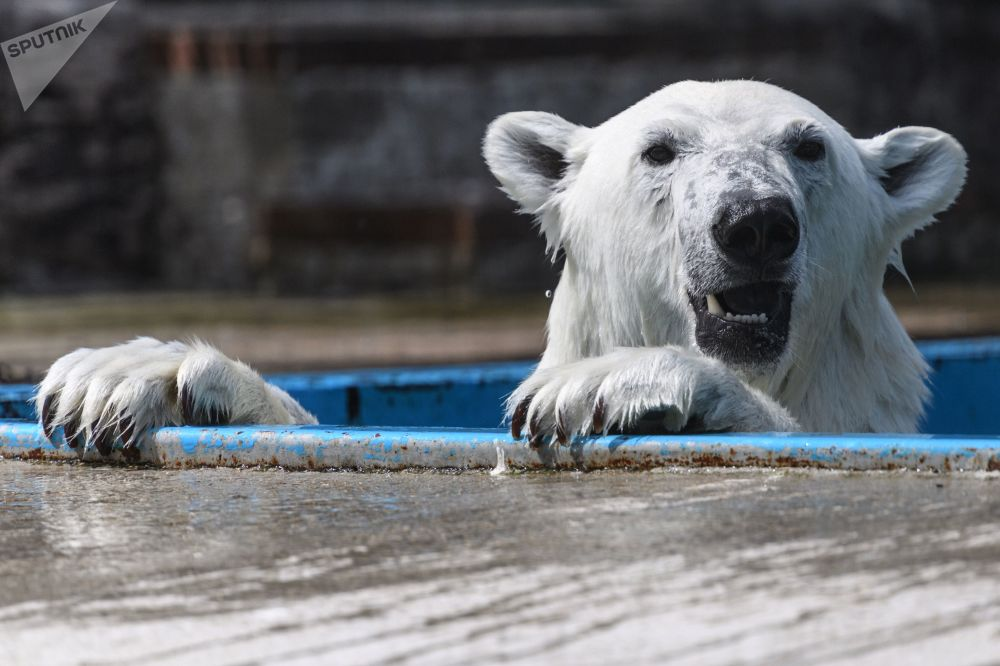 الدب القطبي أحد الحيوانات النادرة من الحيوانات في حديقة موسكو للحيوانات في منطقة قرية سيتشيفو، موسكو