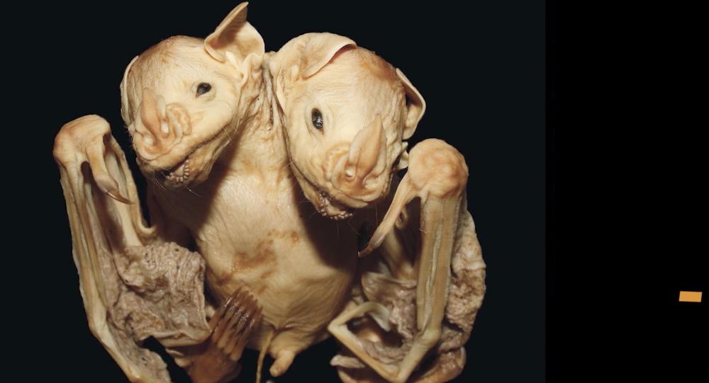 خفافيش برأسين... حالة مُنْفَرِدَةُ ظهرة في البرازيل