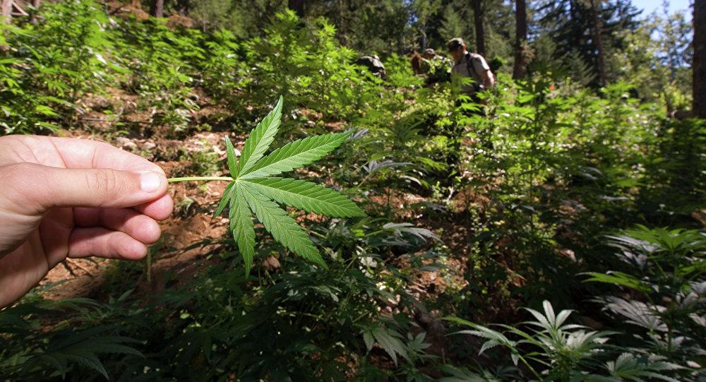 حقل الماريجوانا