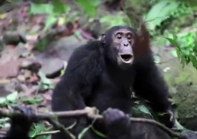 مجموعة شمبانزي