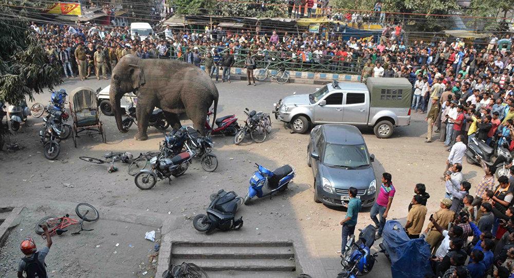 فيل في الهند
