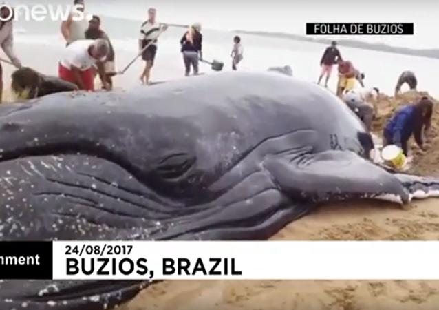 إنقاذ حوت في البرازيل