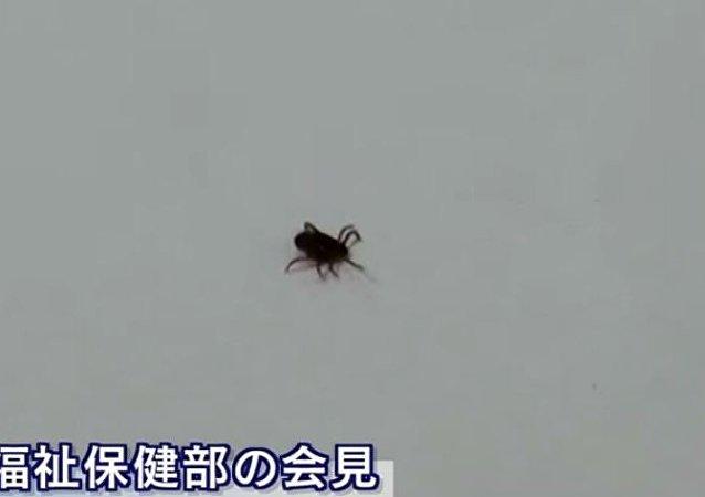 حشرة القراد